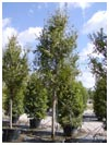 Allee Elm Tree 65 Gallon
