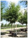 Allee Elm Tree 95 Gallon