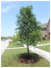 Bald Cypress 45 Gallon