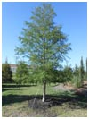 Bald Cypress Tree 95 Gallon