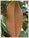 Bracken Brown Beauty Magnolia Leaf (Back)