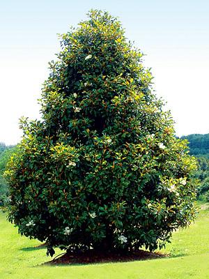 Kinda mature magnolia tree