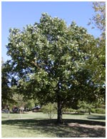 Bur Oak Tree Mature