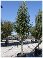 Cleveland Select Pear Tree 30 Gallon