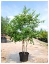 Crape Myrtle Muskogee 30 Gallon Multi Trunk