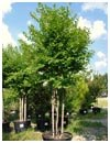 Crape Myrtle Muskogee 45 Gallon Multi Trunk