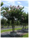 Crape Myrtle 'Muskogee' 65 Gallon Multi Trunk