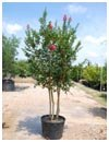 Crape Myrtle 'Tuscarora' 30 Gallon Multi Trunk