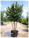 Crape Myrtle 'Tuscarora' 45 Gallon Multi Trunk