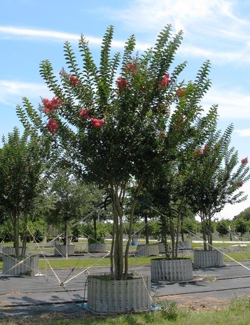 Tree land nursery dallas texas crape myrtle tuscarora tree