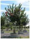 Crape Myrtle 'Tuscarora' 65 Gallon Multi Trunk
