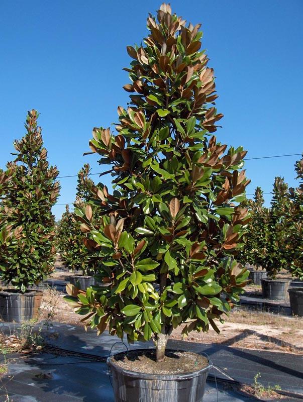 Magnolia Tree Nursery Thenurseries