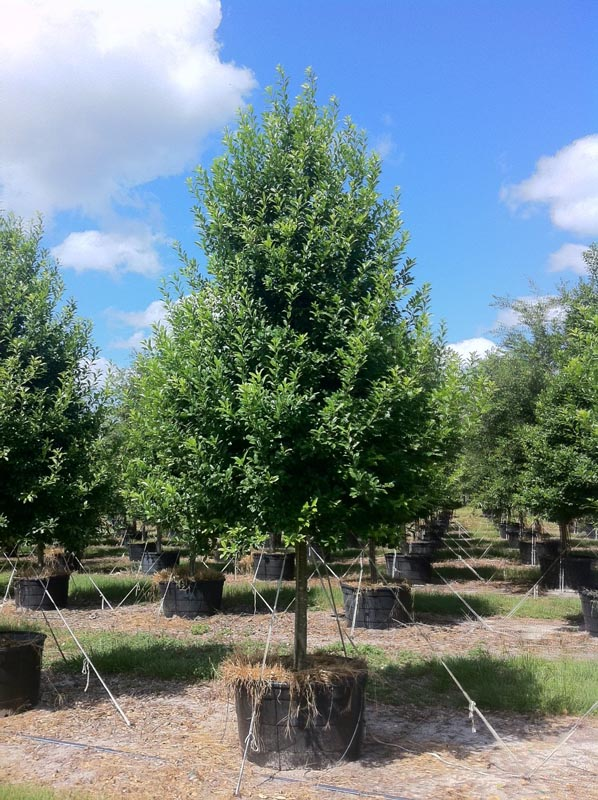 East palatka holly http www tree land com trees eagleston holly asp