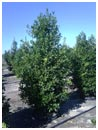 Eagleston Holly 30 Gallon