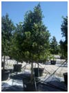 Eagleston Holly 65 Gallon Tree Form