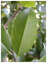 Eagleston Holly Leaf