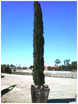Italian Cypress Tree 100 Gallon