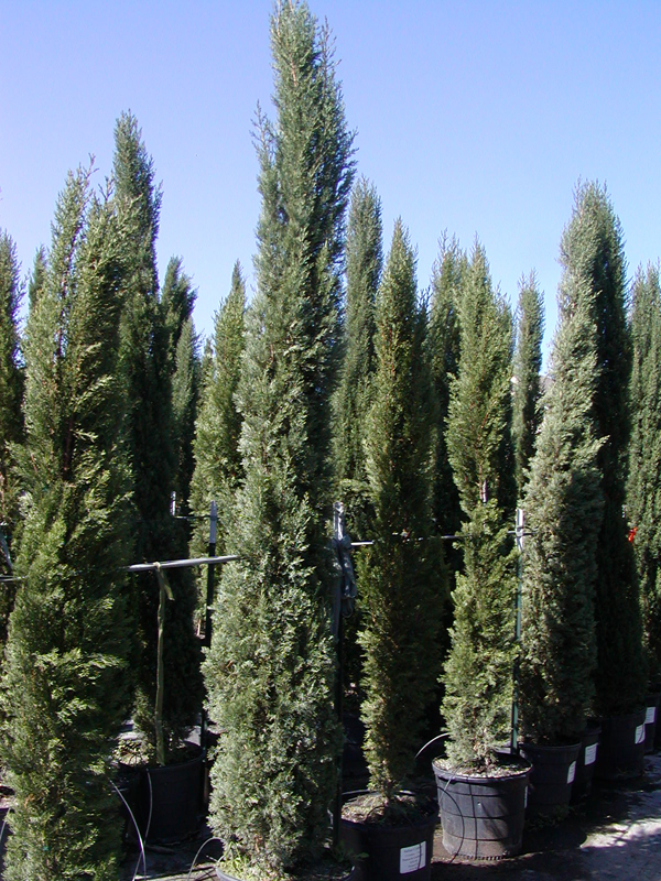 Tree Land Nursery Dallas Tx Italian Cypress Tree