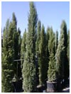 Italian Cypress Tree 9' to 10' Tall