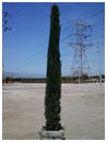 Italian Cypress Tree 12' Tall