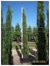 Italian Cypress Tree 7' to 8' Tall