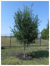 Lacebark Elm Tree 65 Gallon