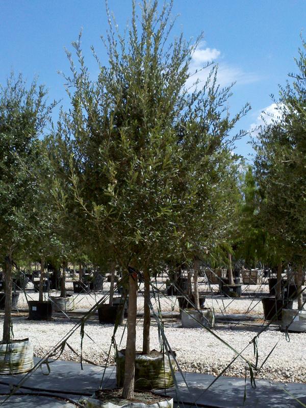 Live Oak Tree Dallas Texas Treeland Nursery