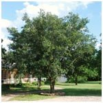 Live Oak Tree Mature