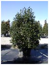 Nellie R Stevens Holly 30 Gallon