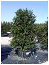 Nellie R Stevens Holly 45 Gallon