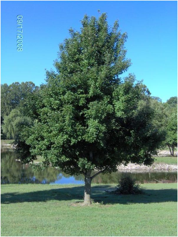 October Glory Maple Mature Lg October Glory Maple Tree The October Glory Maple is one of the most popular ...