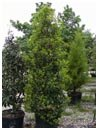 Savannah Holly 30 Gallon