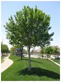 Shantung Maple Tree Mature