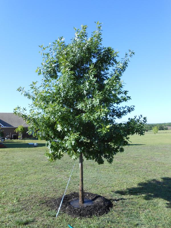 Red Oak Tree ~ Shumard oak leaves