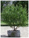 Vitex 'Shoal Creek' 30 Gallon