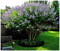 Vitex Shoal Creek Mature