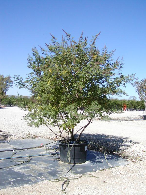 Tree Land Nursery Dallas Texas Vitex 39 Shoal Creek 39