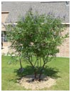 Vitex 'Shoal Creek' 45 Gallon