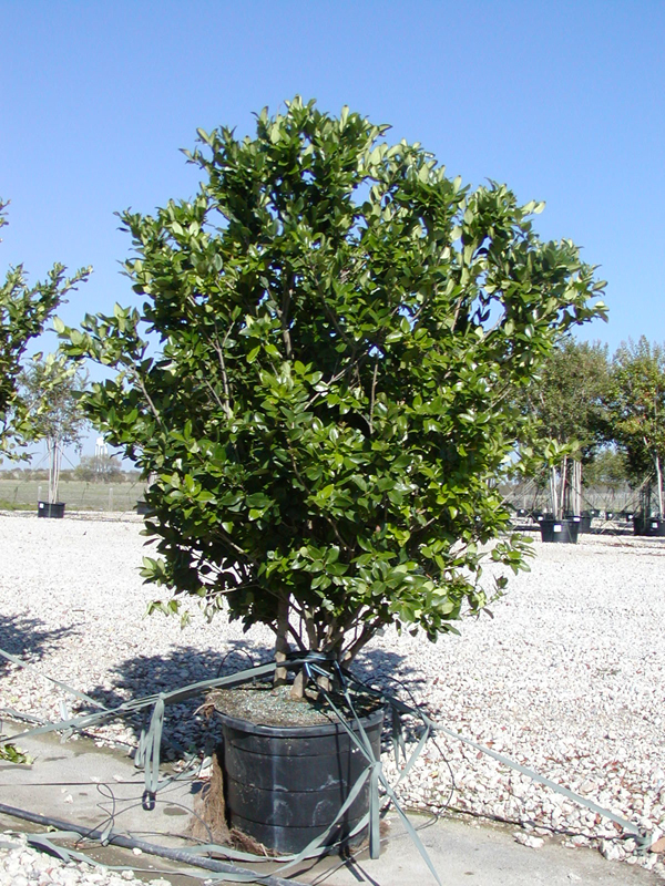 Ligustrum Wax Leaf Privet http://www.tree-land.com/trees_wax_leaf_ligustrum.asp