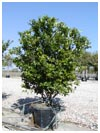 Wax Leaf Ligustrum 30 Gallon