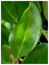 Wax Leaf Ligustrum Leaf