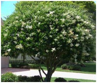 Mature Wax Leaf Ligustrum