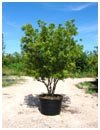 Wax Myrtle 45 Gallon Tree Form