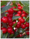 Yaupon Holly Berries