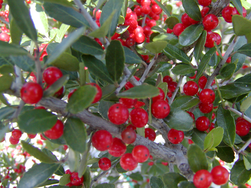 Dwarf burford holly growth rate for pinterest