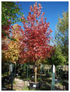 Autumn Blaze Maple Fall Color