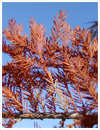 Bald Cypress Fall Color