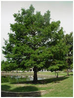 Bald Cypress Tree Mature