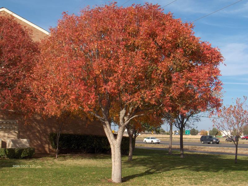 Tree land Nurser...Ornamental Trees For Oklahoma