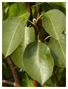 Cleveland Select Pear Leaf